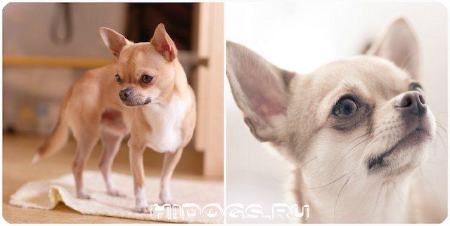 Смесь чихуахуа и ши-тцу признан… самой уродливой собачкой. Однако, так важен внешний вид, сколько характер и любовь питомца!