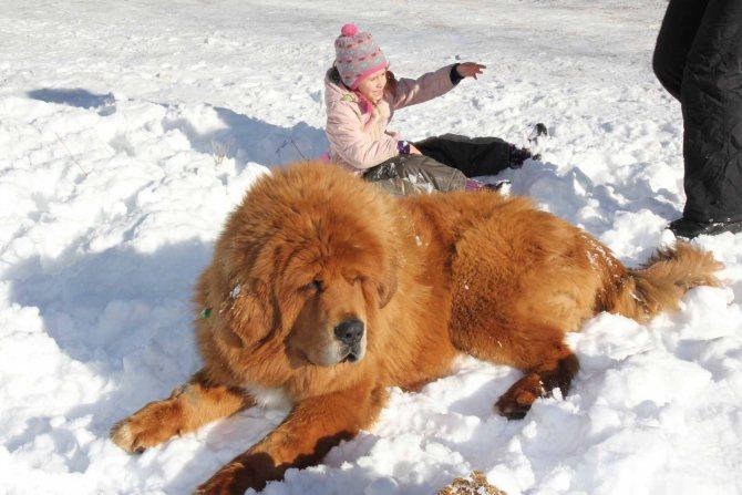 ᐉ Кто больше тибетский мастиф или кавказская овчарка? -