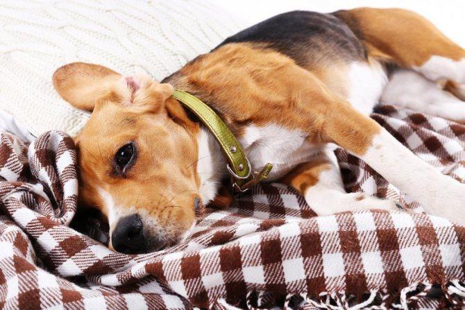 Почему собака дрожит, как будто озноб: причины и что делать?
